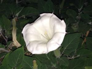 4. Blüte der Nacht